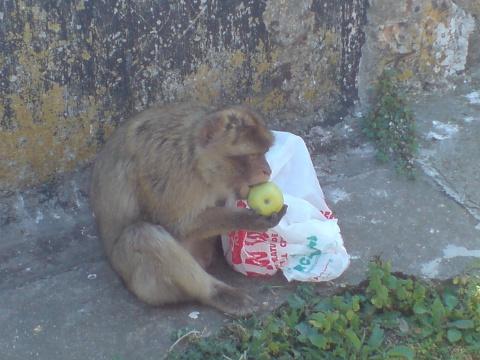 Devorando una manzana robada