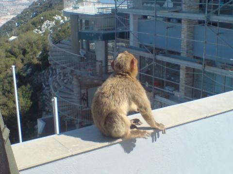 Mono de Gibraltar dándome la espalda